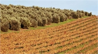 Olive Oil Production in Winter and Wine in Summer Fit Together like a Hand in a Glove