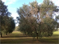 Puglia's Gold: A look at the olive oil crisis