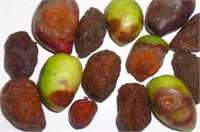 Phytopathological Problems & Phytosanitary Aspects of Olives : Known and Newly Emerging Threats