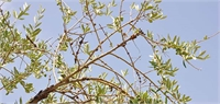 OOCC Research Targets Effective Management Strategies for Olive Knot