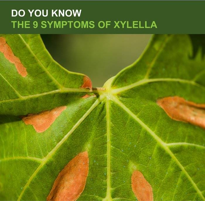 9 Xylella Fastidiosa Symptoms You Should Know About