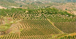The World's Commercial Olive Groves Are Shrinking