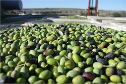 Survey on the Australian Olive Industry Reveals a Striving Industry in Need of a New Focus