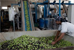 Egypt Plans to Plant 100 Million Olive Trees by 2022