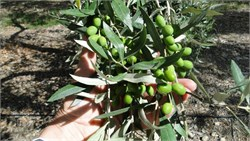 New Zealand Growers More than Double Olive Production with New Techniques