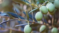 Using Resins to Debitter Olives May Be Eco-Friendly Alternative
