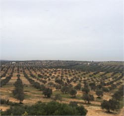 Olive Farming in Tunisia