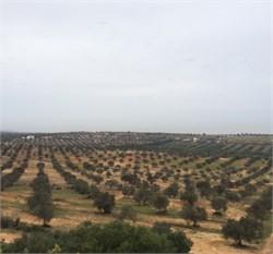 Olive Farming in Tunisia
