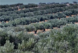 Olive Oil Production Up More Than 25%, Consumption Edges Higher