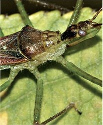 Insect Can Be Effective Predator of Meadow Spittlebug Vector of Xylella