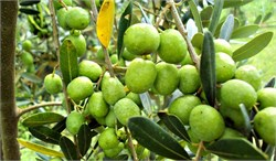 Brazil Looks for Its Own Olive