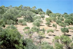 Cheaper Wild Olive Control Method Shows Promise