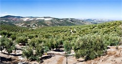 Andalusia Pledges Big Investment in Olive Sector