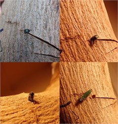 Olive Tree is Second Non-Ash Species Found Vulnerable to Emerald Ash Borer
