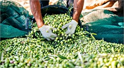 What Does the Future Hold for Pitted Olive Oils?