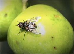 Smart System Identifies Olive Fly's Flutter