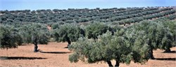Proper Application of Fertilizers May Lead to More Consistent Olive Harvests