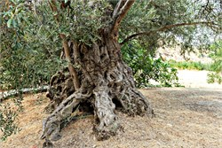 Monumental Trees of Cyprus Represent Attempt to Create Elite Cultivar