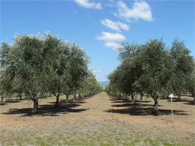 Block 1 ~ Eden Valley Olives