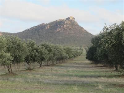 Spectacular Northern Grampians Laharum ~ Mt Zero Olive Grove